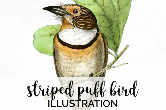Striped Puff Bird Graphic Illustrations By Enliven Designs