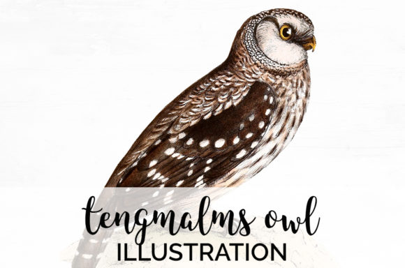 Tengmalms Owl Graphic Illustrations By Enliven Designs
