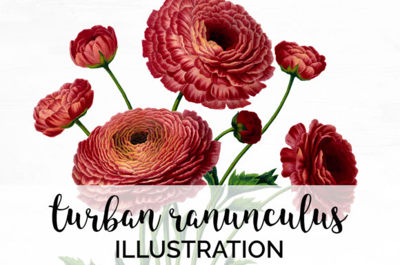 Turban Ranunculus Graphic Illustrations By Enliven Designs