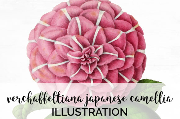 Verchaffeltiana Japanese Camellia Graphic Illustrations By Enliven Designs
