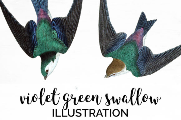 Violet Green Swallow Graphic Illustrations By Enliven Designs