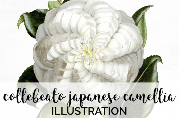 White Collebeato Japanese Camellia Graphic Illustrations By Enliven Designs