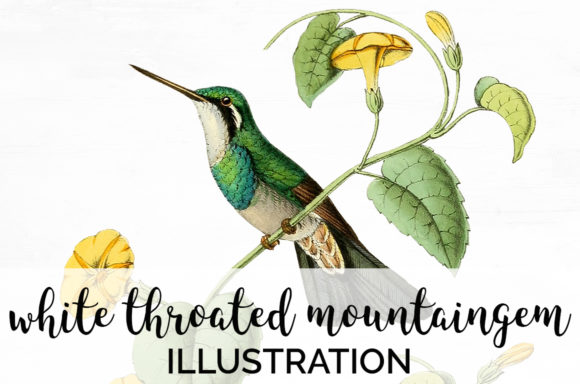 White Throated Mountaingem Graphic Illustrations By Enliven Designs