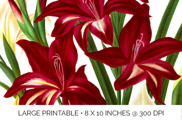 White and Scarlet Gladiolus Graphic Illustrations By Enliven Designs - Image 3