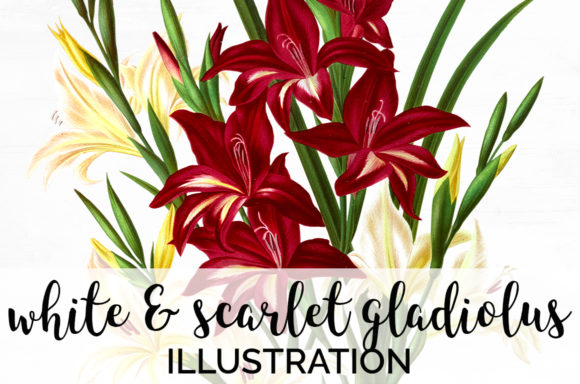 White and Scarlet Gladiolus Graphic Illustrations By Enliven Designs