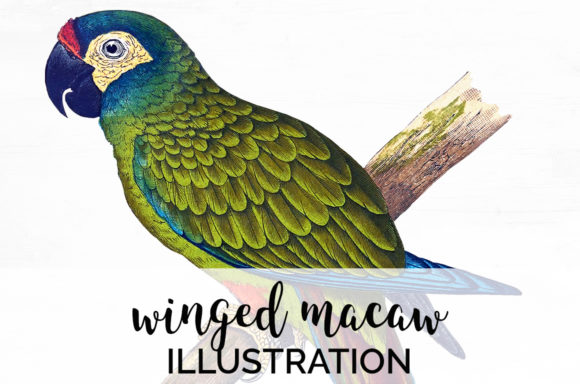 Winged Macaw Graphic Illustrations By Enliven Designs