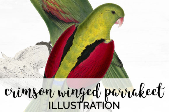 Winged Parrakeet Graphic Illustrations By Enliven Designs