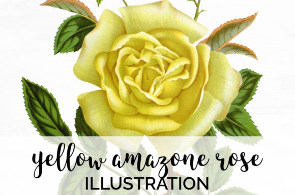 Yellow Amazon Rose Graphic Illustrations By Enliven Designs