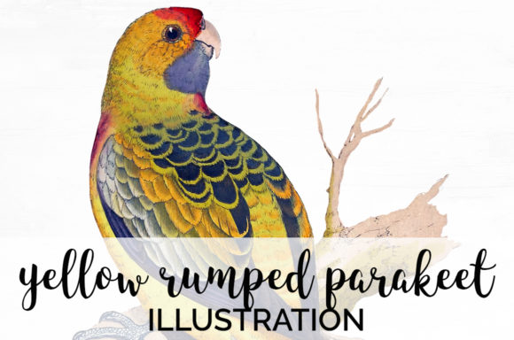 Yellow Rumped Parakeet Graphic Illustrations By Enliven Designs
