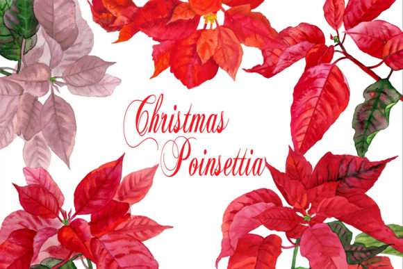 Print on Demand: Christmas Poinsettia Watercolor Clipart Graphic Illustrations By natalia.piacheva