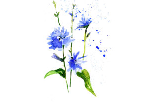 Download Free Watercolor Sketch Drawing Blue Chicory Graphic By Kakva for Cricut Explore, Silhouette and other cutting machines.