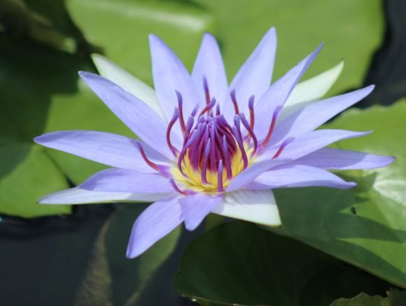 Print on Demand: Beautiful Waterlily Graphic Photos By JLBIMAGES