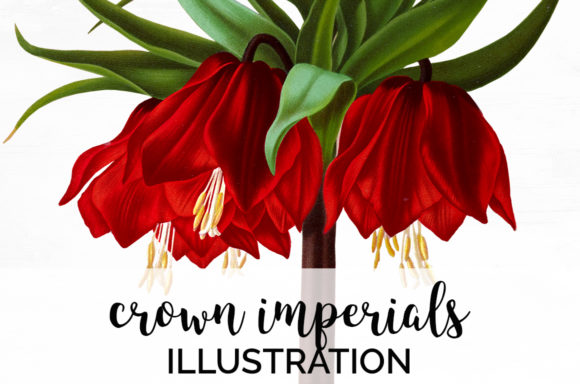 Crown Imperials Flower Illustration Graphic Illustrations By Enliven Designs
