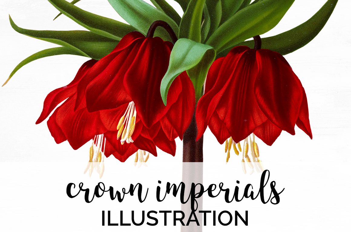 Download Free Crown Imperials Flower Illustration Graphic By Enliven Designs Creative Fabrica for Cricut Explore, Silhouette and other cutting machines.