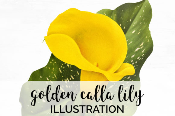 Golden Calla Lily Flower Illustration Graphic Illustrations By Enliven Designs