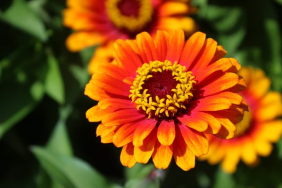 Print on Demand: Orange Chrysanthemum Flowers Graphic Photos By JLBIMAGES - Image 1