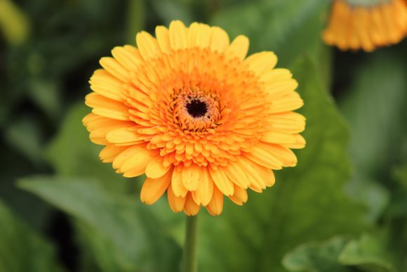Print on Demand: Orange Chrysanthemum Flowers Graphic Photos By JLBIMAGES