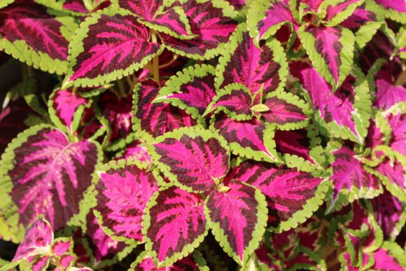 Print on Demand: PINK & GREEN COLEUS PLANT Graphic Photos By JLBIMAGES