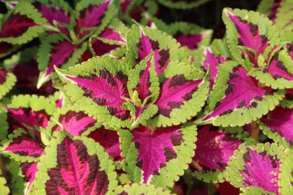 Print on Demand: PINK & GREEN COLEUS PLANT Graphic Photos By JLBIMAGES - Image 1