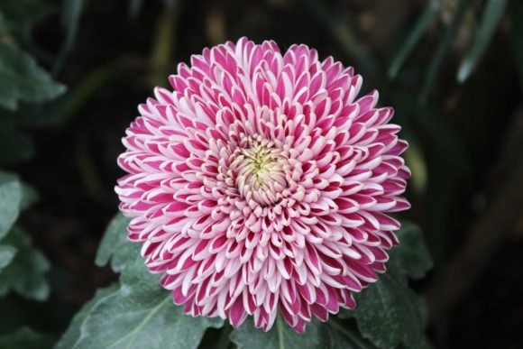 Print on Demand: Pink Chrysanthemums Graphic Photos By JLBIMAGES