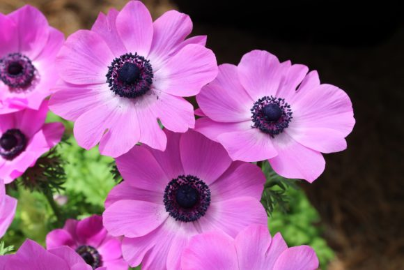 Print on Demand: Pretty Pink Poppies Graphic Photos By JLBIMAGES - Image 1