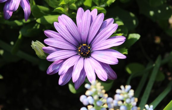Print on Demand: Purple African Daisy Blooms Gráfico Fotografías Por JLBIMAGES
