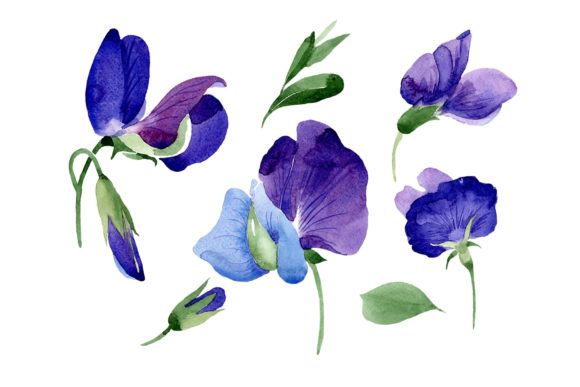 Print on Demand: Purple Sweet Pea Flower Watercolor Graphic Illustrations By MyStocks