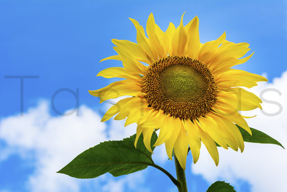 Print on Demand: Sunflower on the Blue Sky Background. Graphic Nature By TasiPas