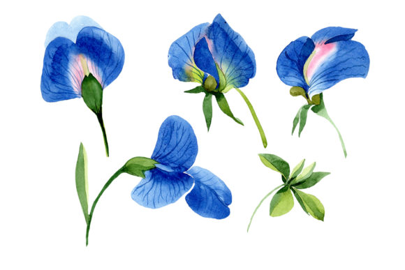 Print on Demand: Sweet Pea Blue Watercolor Png Graphic Illustrations By MyStocks
