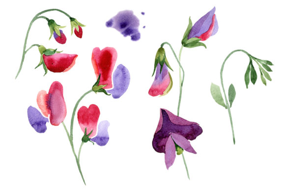 Print on Demand: Sweet Pea Red Watercolor Graphic Illustrations By MyStocks