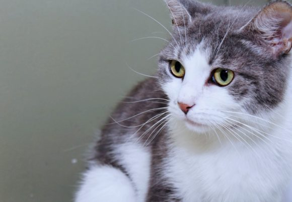Print on Demand: Pretty Gray & White Cat Graphic Photos By JLBIMAGES