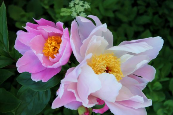 Print on Demand: Pretty Pink Peonies Graphic Photos By JLBIMAGES