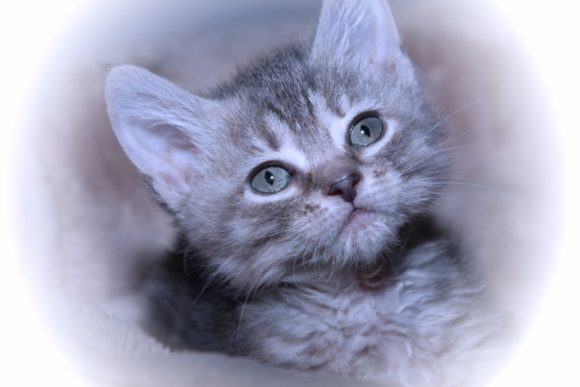 Print on Demand: Adorable Gray Tabby Kitten Graphic Photos By JLBIMAGES
