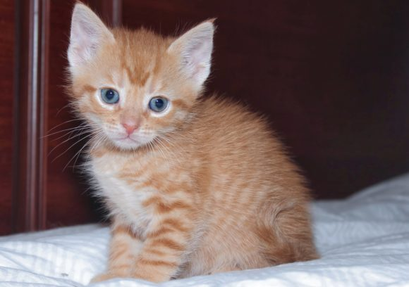 Print on Demand: Adorable Orange Tabby Kitten Graphic Photos By JLBIMAGES - Image 1