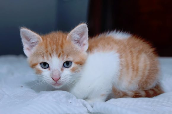 Print on Demand: Adorable Orange Tabby Kitten Graphic Photos By JLBIMAGES