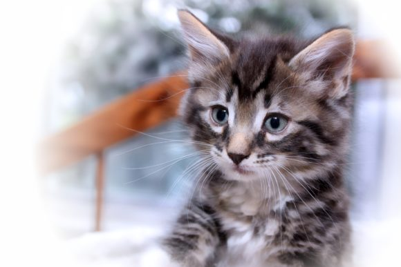 Print on Demand: Brown Tabby Kitten Graphic Photos By JLBIMAGES