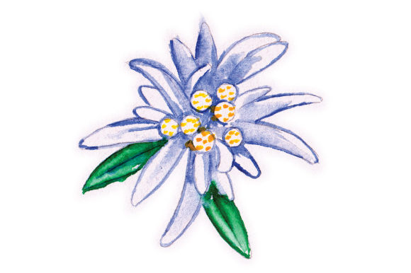 Download Free Edelweiss Flower In Watercolor Svg Cut File By Creative Fabrica Crafts Creative Fabrica for Cricut Explore, Silhouette and other cutting machines.