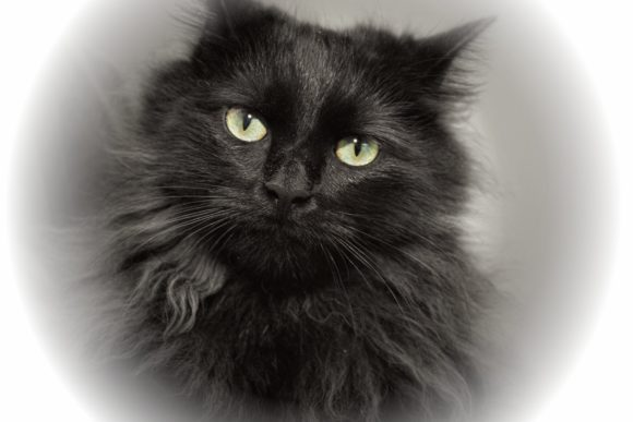 Print on Demand: Fluffy Black Cat Graphic Photos By JLBIMAGES