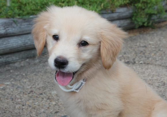 Print on Demand: Golden Retriever Dog Puppy Graphic Photos By JLBIMAGES - Image 1