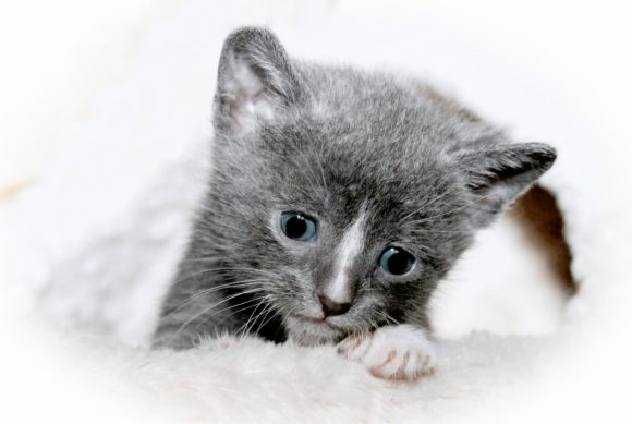Print on Demand: Gray & White Kitten Graphic Photos By JLBIMAGES