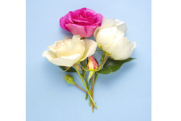 Pink and White Roses on Blue Background Graphic