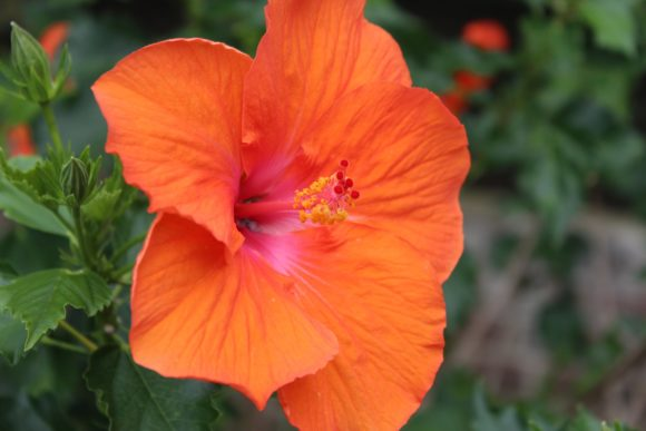 Print on Demand: Beautiful Hibiscus Flower Graphic Photos By JLBIMAGES - Image 1
