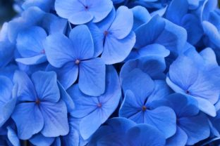 Beautiful Blue Hydrangeas Graphic By JLBIMAGES