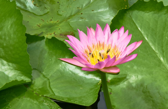 Close Up Picture of Pink Waterlily Graphic Nature By thanaporn.pinp