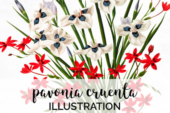 Pavonia Cruenta Watercolor Flowers Graphic Illustrations By Enliven Designs