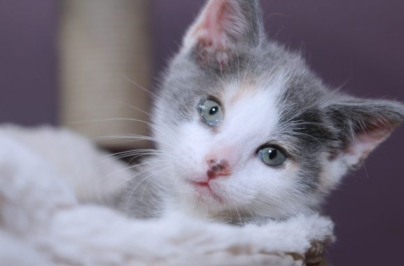 Print on Demand: Adorable Dilute Calico Kitten Graphic Animals By JLBIMAGES