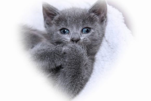 Print on Demand: Precious Little Gray Kitten Graphic Animals By JLBIMAGES