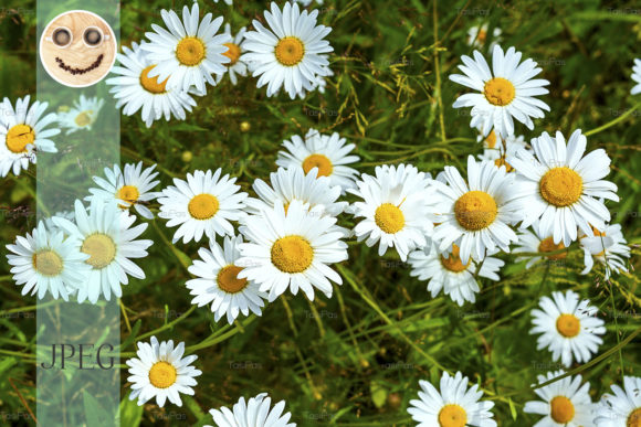 Print on Demand: Blooming Summer Flowers White Chamomile. Graphic Nature By TasiPas