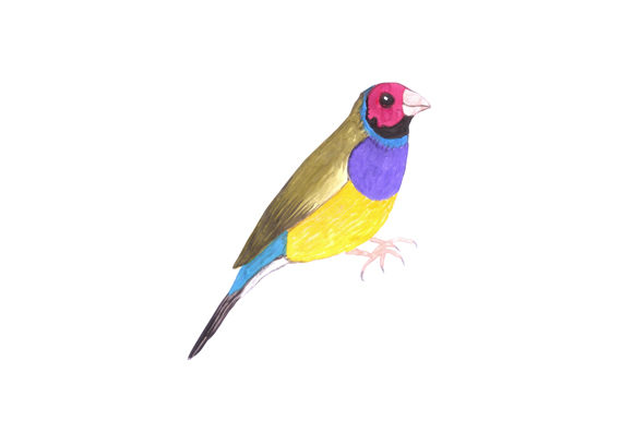 Gouldian Finch Watercolor Graphic Illustrations By shawlin