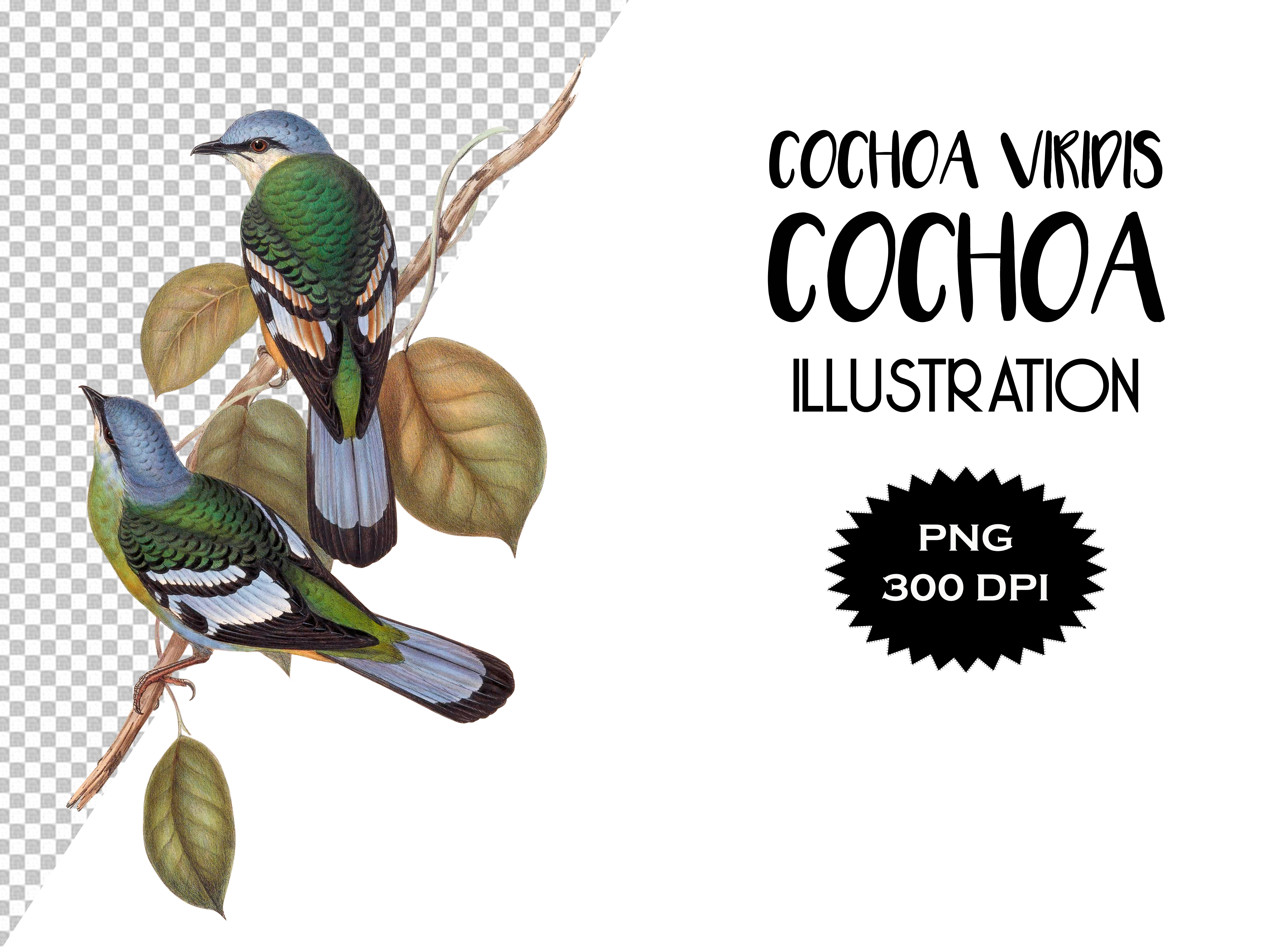 Download Free Green Cochoa Bird Illustration Graphic By Antique Pixls for Cricut Explore, Silhouette and other cutting machines.